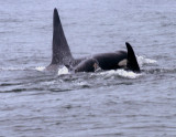 Orca Pod.jpg