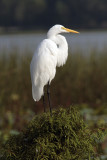 Egret on Bush.jpg