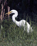 Egret with bug.jpg