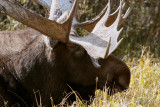 Bull Moose Laying Down Closeup.jpg
