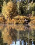 Moose coming ashore at Ox Bow Bend.jpg