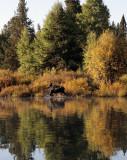 Moose Coming Ashore at Ox Bow Bend 2.jpg