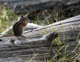 Chipmunk on a log.jpg