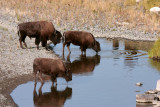 Bison at the water hole.jpg