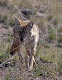 Coyote in Lamar Valley Coming toward camera.jpg