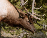 Bull Elk in the trees Close up.jpg