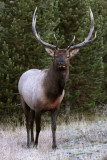 Bull Elk in the trees vertical.jpg