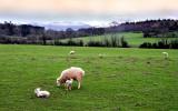 Anglesey Sheep