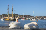 Conwy Swans on the estuary.