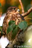 Merlin Falcon I