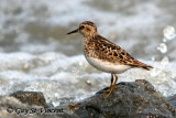 Sandpiper by the waves