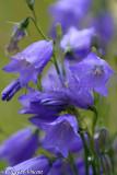 Bellflowers (Campanulas)