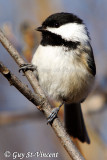 Black-capped chickadee I