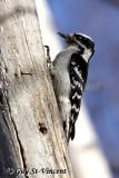 Downey Woodpecker I