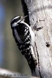 Downey Woodpecker II