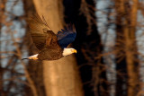 Bald Eagle in Morning Light