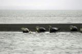 Seals at Ósar (northern Iceland)