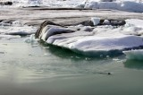 A seal swimming in Jökulsárlón