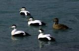 Ducks in Jökulsárlón