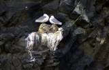 Seagulls on Vík cliff