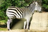 Z is for Zebra, Brookfield Zoo, Chicago