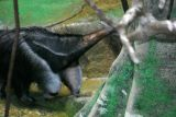 X is for Xenarthra, Brookfield Zoo, Chicago