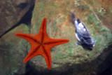 V is for Vermillion Sea Star - Mediaster Aequalis, Fish, Aquarium