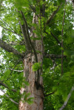 The last remaining tree of an entire genus, Indianapolis Zoo, IN