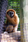White Handed Gibbon, Indianapolis Zoo, IN