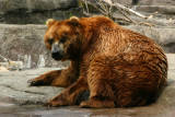 Kodiak Bear, Indianapolis Zoo, IN