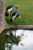 African Crowned Crane pair, Indianapolis Zoo, IN