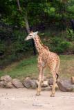 Giraffe, Indianapolis Zoo, IN
