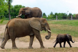 E is for Elephant - African Elephant family, Indianapolis Zoo, IN
