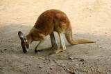 K is for Kangaroo - Red Kangaroo, Indianapolis Zoo, IN