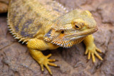 Scary close-up, Bearded Dragon, Indianapolis Zoo, IN