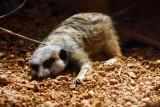 Meerkat, Indianapolis Zoo, IN