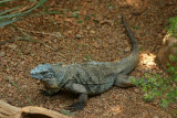 I is for Iguana - Blue Iguana, Indianapolis Zoo, IN