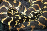 Diamondback rattlesnake, Indianapolis Zoo, IN