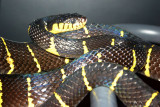 Mangrove Snake, Indianapolis Zoo, IN
