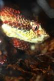 Eyelash viper's Slit eyes, Indianapolis Zoo, IN