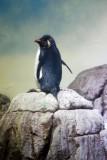 Rockhopper Penguin, Indianapolis Zoo, IN