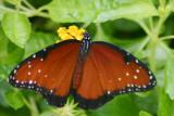 Butterfly: Queen