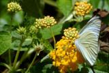 Butterfly: Cloudless Sulphur