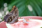 Butterfly: Blue Morpho