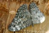 Butterfly: Gray Cracker Butterfly
