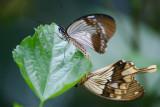 Butterfly: Julia's side