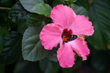 Butterfly: Tiger Longwing in a Hibiscus