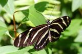 Butterfly: Zebra longwing