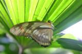 Butterfly: Julia folded up