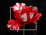 Strange-Tulip-edit1.jpg